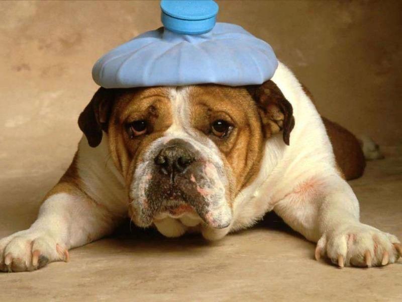 Собака лежит на передних лапах с грелкой на голове