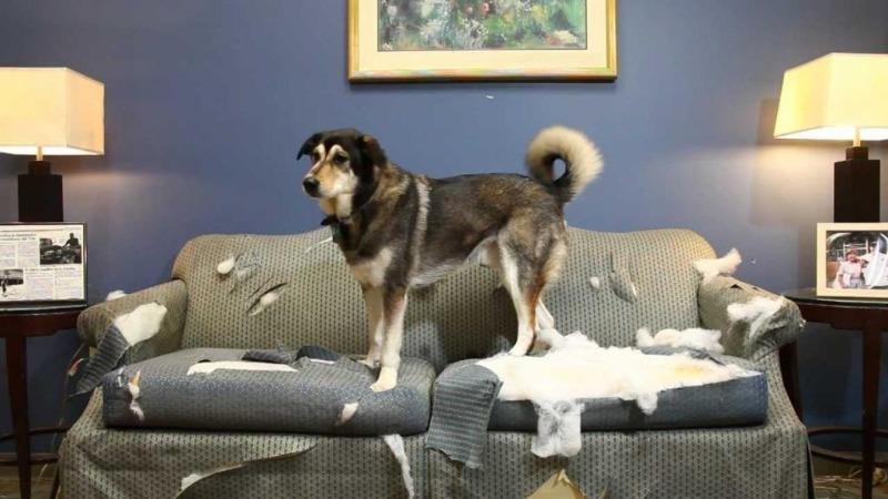Собака портит мебель