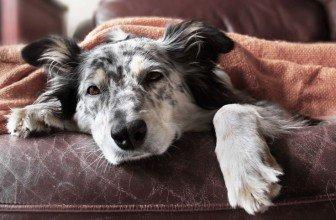 """Результат пошуку зображень за запитом """"собак """"косить""""  вірус"""""""