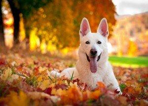 Швейцарская овчарка (фото): белоснежный пес — преданный и умный друг
